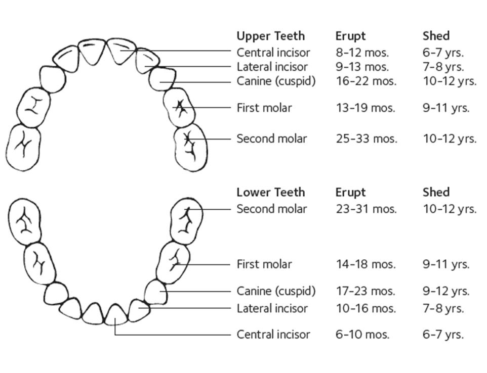 teething development chart