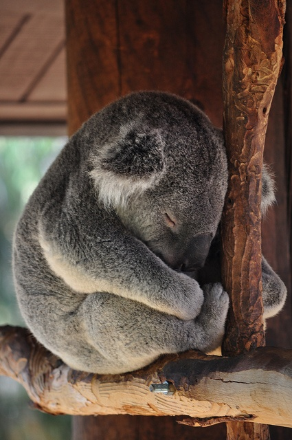 Oh.. sleepy koala